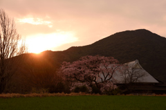 夕景の姫シダレ桜