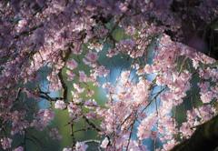 ビタミンカラーとしだれ桜