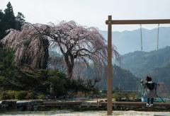 枝垂桜と遊ぶ