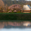 宝珠寺のしだれ桜が満開になりました!