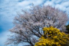樹齢100年の山桜とミモザ