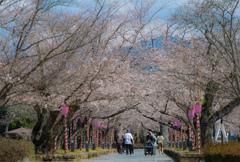 桜並木を愉しむ