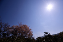 平家後ろ山大桜