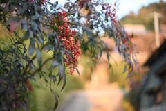 冬の散歩道~長生寺の南天