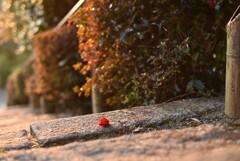 冬の散歩道~長生寺の椿