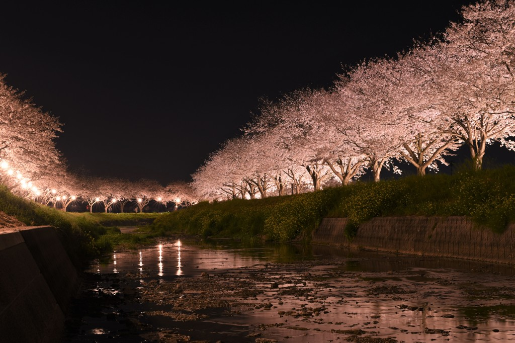 川辺の夜桜❀