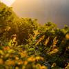 朝日に染まる穂高の草木