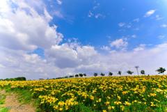 夏色。ゆりの丘と青空