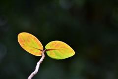 ハマベブドウ