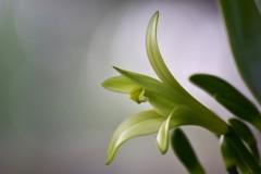 バニラの花