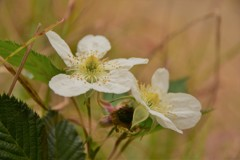 ハチジョウクサイチゴ