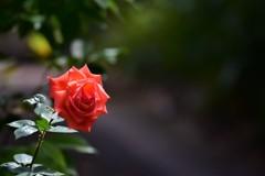薔薇の咲く道