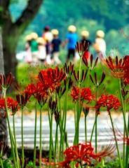 巾着田曼珠沙華公園の曼珠沙華と園児