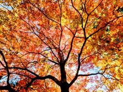 紅葉速報:奥日光湯滝付近の木道傍の楓