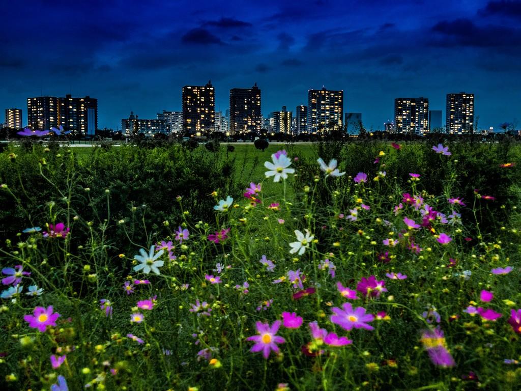 マジックアワーの多摩川河川敷に咲くコスモスと高層マンション群