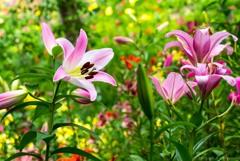 百合の花びら