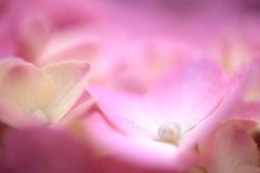 桃の手鞠花