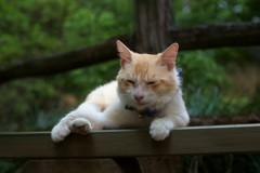 観光猫やってますが正直ねこブーム迷惑なんですよ。嗚呼毎日接客疲れます。