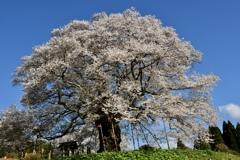 2020桜・老木