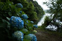 湖畔に咲く…