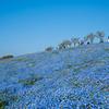 Blue sky Blue Nemophila