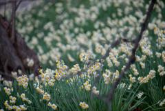 水仙の咲く頃…