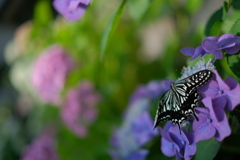 紫陽花と蝶