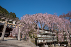 碧空と枝垂れ桜