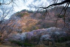 宇陀の山桜