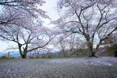 桜雪ひらひら