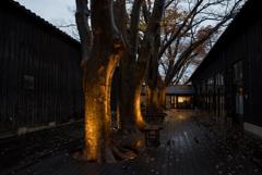 深秋のけやき並木