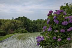 時を感じる田園と紫陽花