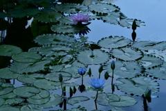 ベトナムからの友好の蓮  大阪市 咲くやこの花館