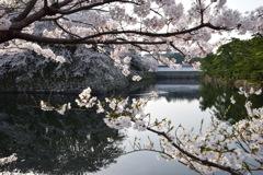 春爛漫 彦根城