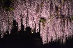 兵庫県朝来市 大町藤公園2017