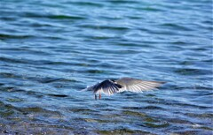 コアジサシ飛翔