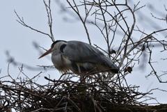 営巣中の青サギのつがい