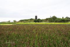国分寺と赤米
