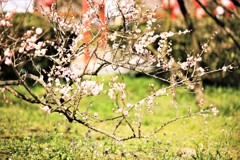 Plum blossom3