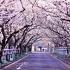 知覧平和公園の桜並木