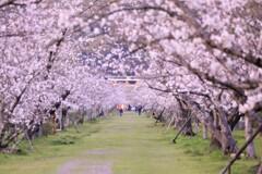 桜並木を散策中