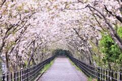 雨上がりの桜並木
