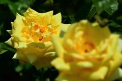 春バラ3-1