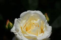 春バラ3-2
