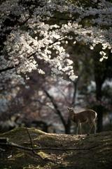 輝く桜の森