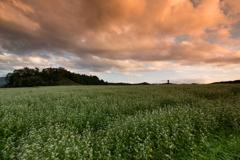 蕎麦畑の黄昏時