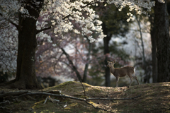美しき、桜の森