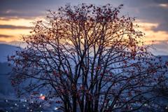 九品寺近くの柿の木