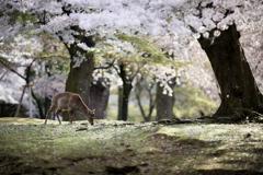 奈良公園 「桜の森」