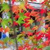 モミジ_新宿御苑